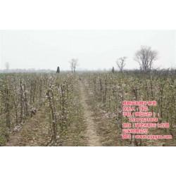 桃苗种植技巧|孝感桃苗种植|枣阳桃花岛
